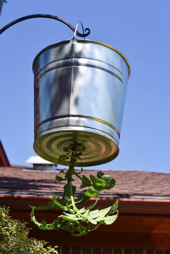 DIY Galvanized Tin Upside Down Tomato Planter - Our Handcrafted Life