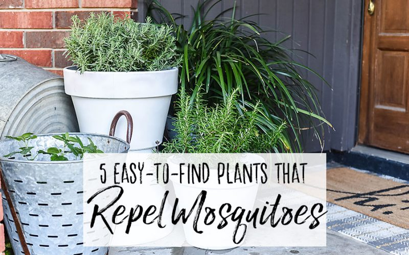 5 Plants That Repel Mosquitoes for Your Front Porch